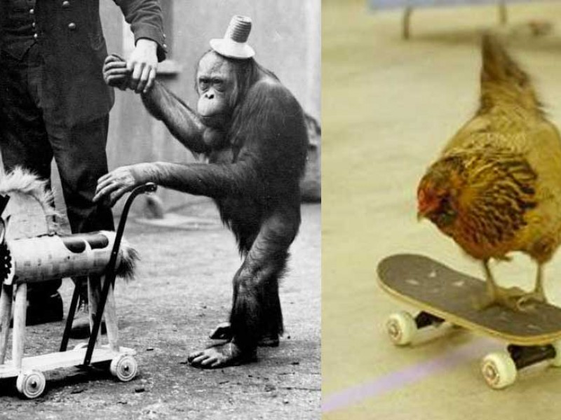 "Seeking  Web Tricks Better Than ""Chicken on a Skateboard"""