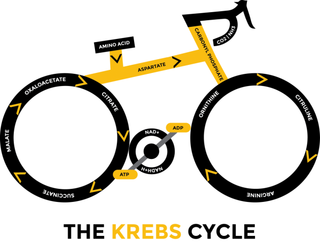 krebs-cycle