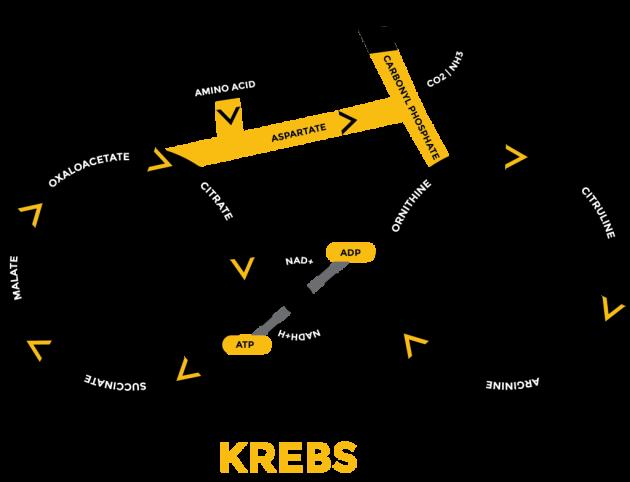 krebs-cycle